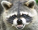 Angry Sean Miller raccoon